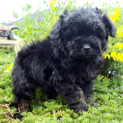 The Cavoodle Country Puppies
