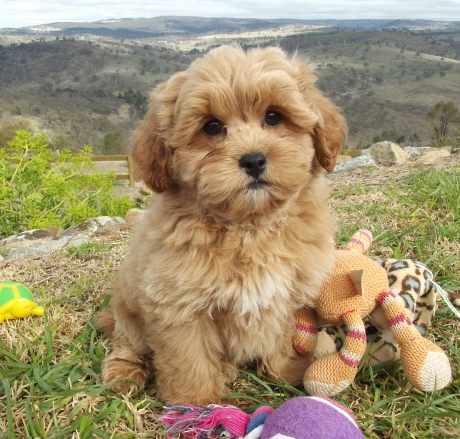 Small Dog Breeders Nsw