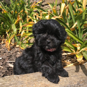 Country Puppies | cavoodle for sale shoodle moodle dog