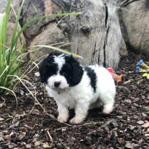 Country Puppies Cavoodle For Sale Shoodle Moodle Dog Breeder Nsw